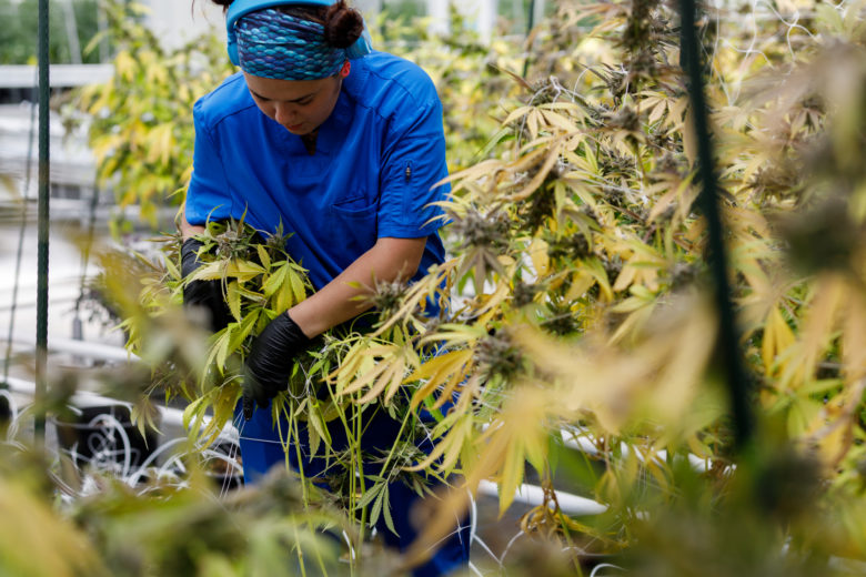Harvesting Cannabis Plants at Rubicon Organics